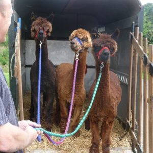 Barney, Brillo and Bam first arriving at Fangdale Beck