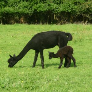 Jack as a Cria with Kali