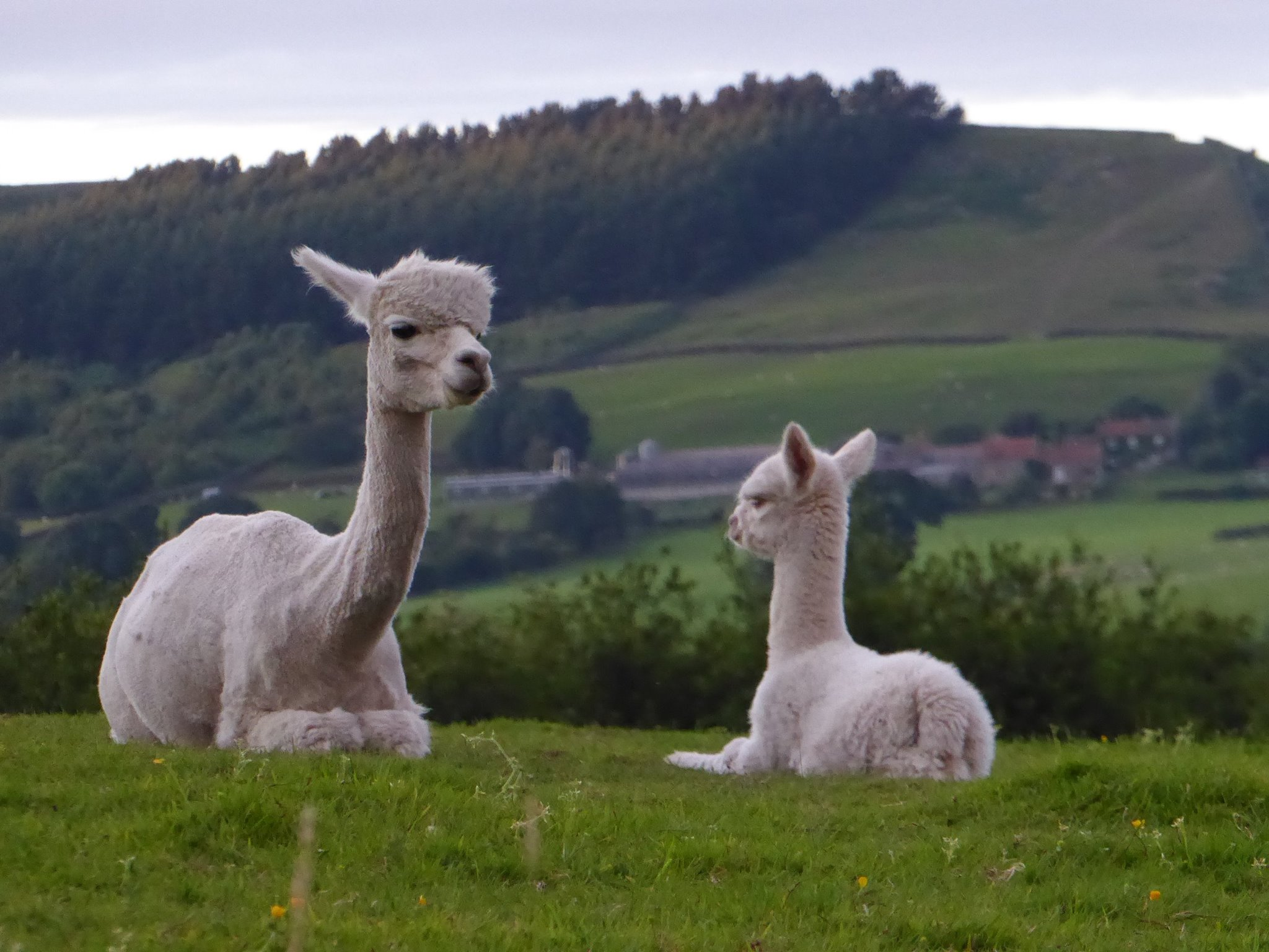 Jessie as a Cria with mum Tally