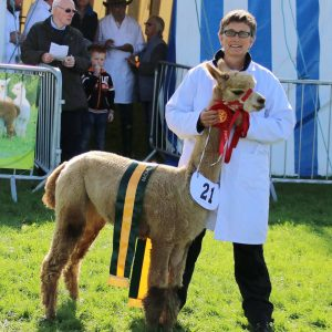 Ziggy: Champion Fawn Female Westmorland Show